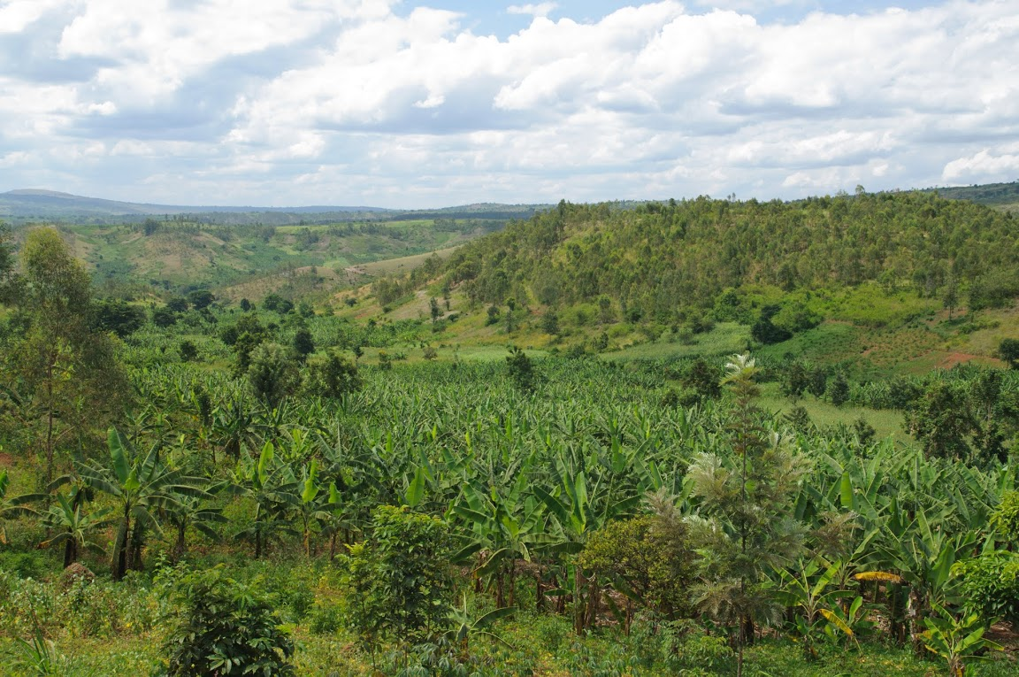 як ростуть банани. бананова пальма